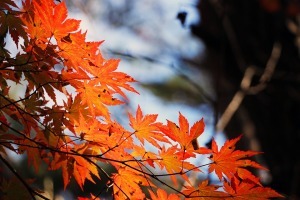 red-maple-leaf-507545_960_720