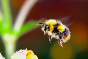 bumble-bee-2361336_960_720 (1)