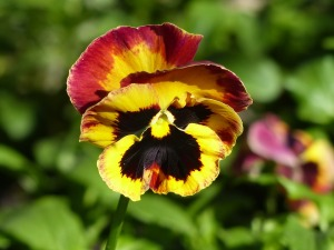 pansy-1504026_960_720