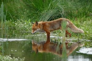 fox-1540833_960_720