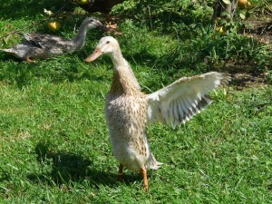 running-duck-59768_960_720